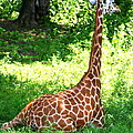 Rothschild Giraffe by Laurel Talabere