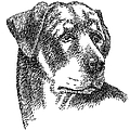 Rottweiler-drawing by Gordon Punt