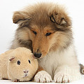 Rough Collie Pup And Yellow Guinea Pig by Mark Taylor