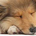 Rough Collie Pup by Mark Taylor