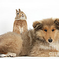 Rough Collie Pup With Sandy Netherland by Mark Taylor
