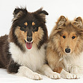 Rough Collies by Mark Taylor