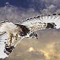 Rough Legged Hawk In Flight by Mark Duffy