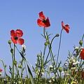 Rough Poppy (papaver Hybridum) by Bob Gibbons