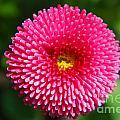 Round Pink Flower by Yhun Suarez
