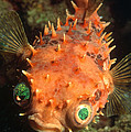 Rounded Porcupine Fish by Nature Source