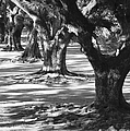Row Of Oaks - Black And White by Carol Groenen