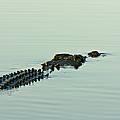 Rows Of Scutes Cover A Saltwater by Jason Edwards