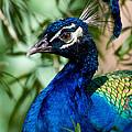 Royal Peacock by Sabrina L Ryan