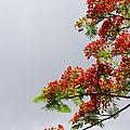 Royal Poinciana Tree by Marilyn Wilson