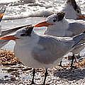 Royal Terns by MJ Cadle