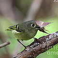 Ruby-crowned Kinglet Nabs A Moth by Barbara Bowen