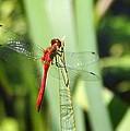 Ruby Meadowhawk Dragonfly by Laurel Talabere