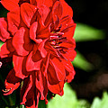 Ruby Red Dahlia by Susan Herber