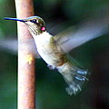 Ruby Throated Hummer In Flight by Laurel Talabere