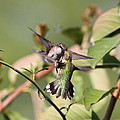 Ruby-throated Hummingbird - An Altercation by Travis Truelove