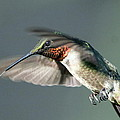 Ruby-throated Hummingbird - Hover by Travis Truelove