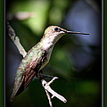 Ruby-throated Hummingbird - Just Beautiful by Travis Truelove