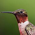 Ruby-throated Hummingbird - Macho Man by Travis Truelove