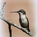 Ruby-throated Hummingbird - Totally Innocent by Travis Truelove