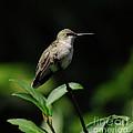 Ruby-throated Hummingbird Female by Ronald Grogan