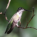 Ruby-throated Hummingbird - Hanging Low by Travis Truelove