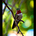 Ruby Throated Hummingbird by Susanne Still