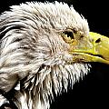 Ruffled Bald Eagle by Bill Dodsworth