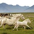 Running Wild In Iceland by Gigja Einarsdottir