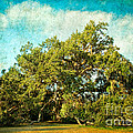 Ruskin Oak by Joan McCool
