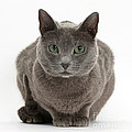 Russian Blue Cat by Mark Taylor