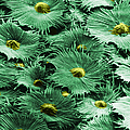 Russian Silverberry Leaf  by Asa Thoresen and Photo Researchers