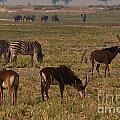 Sable Antelope With Zebra And Elephants by Mareko Marciniak