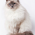 Sacred Birman Cat With Blue Eyes by MariaR