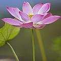 Sacred Lotus Nelumbo Nucifera Flower by Tim Fitzharris