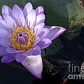 Sacred Lotus by Raul Gonzalez Perez