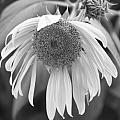Sad Sunflower Black And White by James BO  Insogna