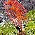 Sadleria Fern Hawaii by Greg Dimijian