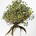 Sage Plant And Roots by Dilston Physic Gardencolin Cuthbert