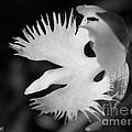 Sagi-so Or Crane Orchid Named Japanese Egret Flower by J McCombie