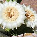 Saguaro Cactus Flowers by Kume Bryant