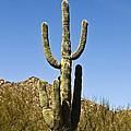 Saguaro Cactus by Scott Pellegrin