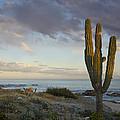 Saguaro Carnegiea Gigantea Cactus by Tim Fitzharris