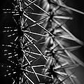 Saguaro Nights by Vicki Pelham