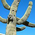 Saguaro  by Sarah Gayle Carter