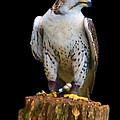 Saker Falcon by Sheila Laurens
