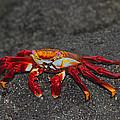 Sally Lightfoot Crab by Tony Beck