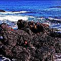Sally Lightfoot Crabs On Basalt by Thomas R Fletcher
