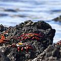 Sally Lightfoot Crabs by Sally Weigand