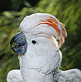 Salmon-crested Cockatoo Cacatua by San Diego Zoo